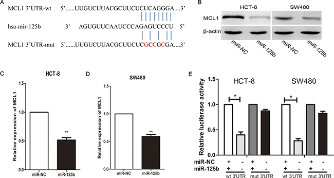 MiR-125b inhibits MCL1 expression by directly binding to its 3′-UTR in CRC cell lines.