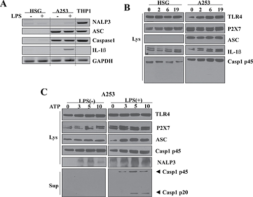Upregulation of P2X7R and NLRP3 inflammasome components in A253 cells.