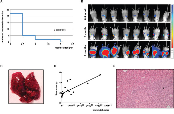 Analysis of intrasplenic xenografts complemented by splenectomy.