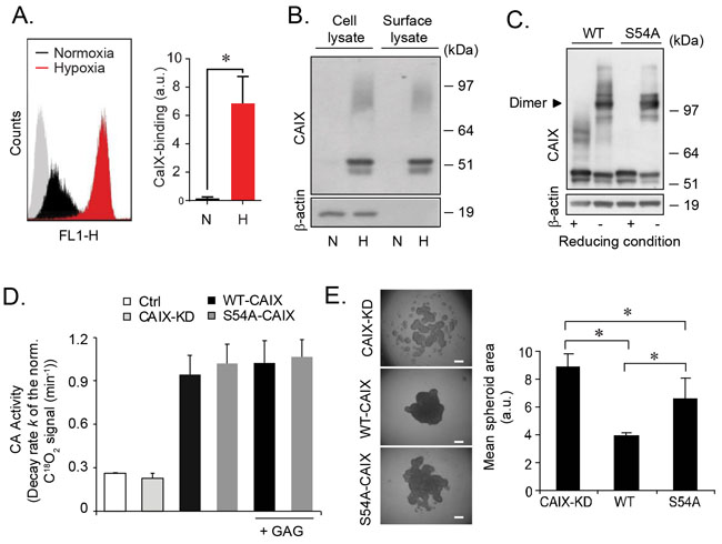 GAG substitution of CAIX regulates cell aggregation by mechanisms independent on the dimerization or catalytic activity of CAIX.