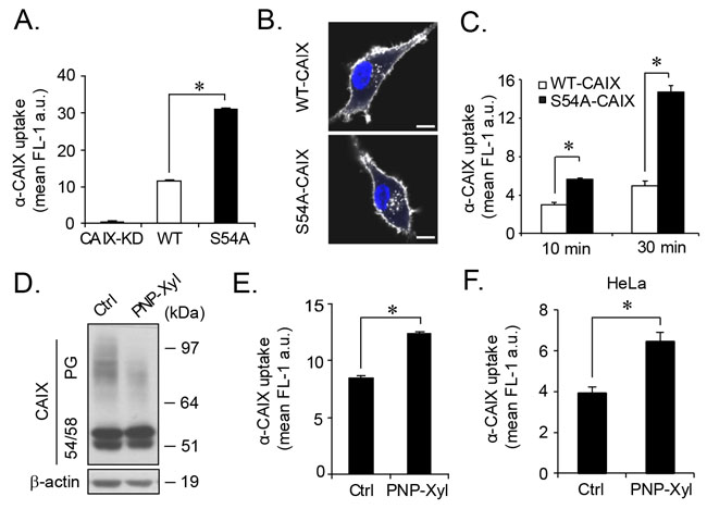 Increased CAIX internalization by genetic or pharmacological depletion of glycosaminoglycan modification.