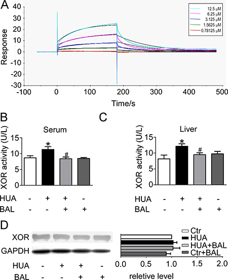 Binding affinity of baicalein to XOR as determined by SPR, and the inhibitory effect of baicalein to XOR in hyperuricemia mice in vivo.
