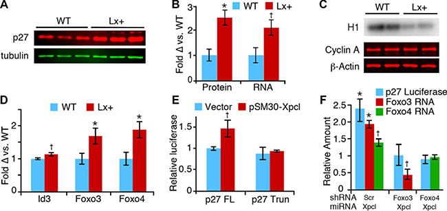 Regulation of p27Kip1 expression by miR-106a~363.