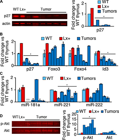 p27 and Foxo expression in tumors and T cell subsets.