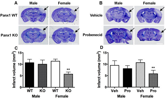 Panx1 KO and blockade is neuroprotective in female, but not in male mice.
