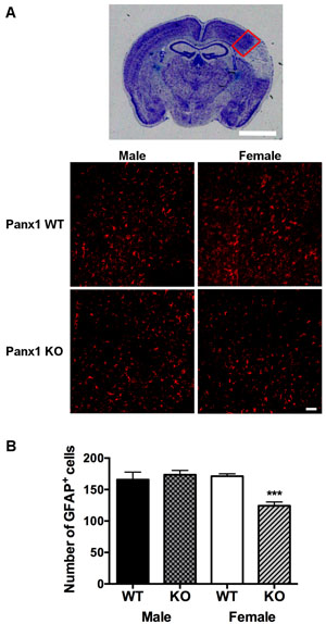 Astrocyte reactivity is reduced in female, but not in male Panx1 KO mice.