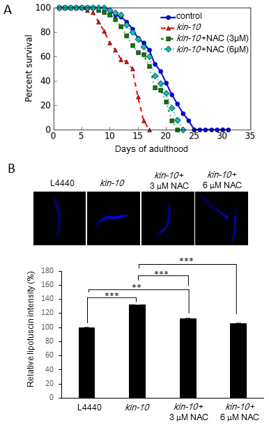 The effect of NAC on lifespan shortening and lipofuscin accumulation in
