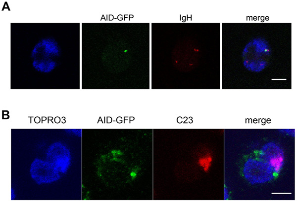 The ectopically expressed AID-GFP forms a unique perinucleolar focus associated with IGH at the periphery of nucleoli.