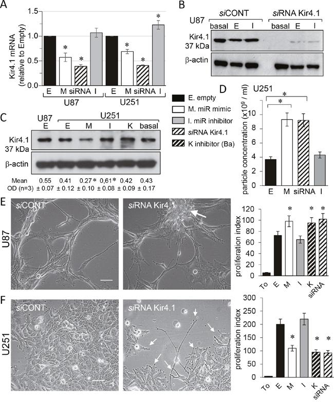 miR-5096 decreases KCNJ10 gene expression in U87 and U251 glioblastoma cells.