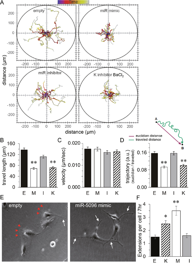 Similar effects of miR-5096 and barium on glioblastoma cell displacement.
