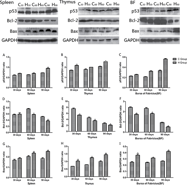 Effects of As2O3 on protein expression of p53, Bcl-2 and Bax at 30, 60 and 90 days *P < 0.05, compared with the control group.