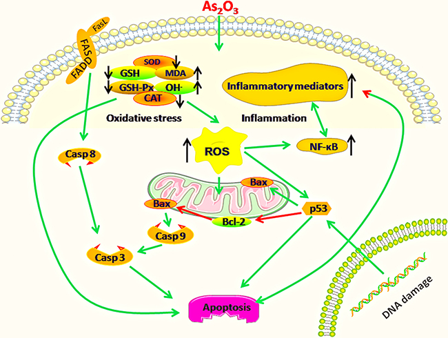 Diagram depicts the toxic effect of arsenic trioxide on chicken immune organs: Mitochondria and death receptor apoptosis pathways are activated because of excessive apoptosis in immune organs of chickens suffering from subchronic arsenism, and oxidative stress as well as subsequent inflammatory is a crucial driver during As2O3 exposure.