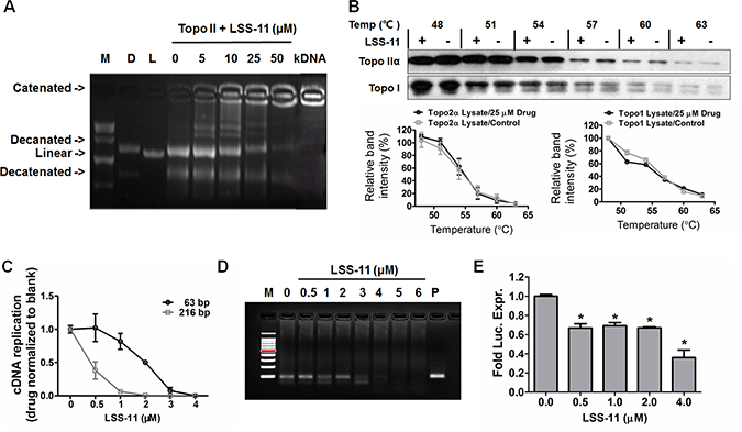 LSS-11 inhibits DNA polymerase, topoisomerase II and minimal TA promoter-drove luciferase reporter expression.