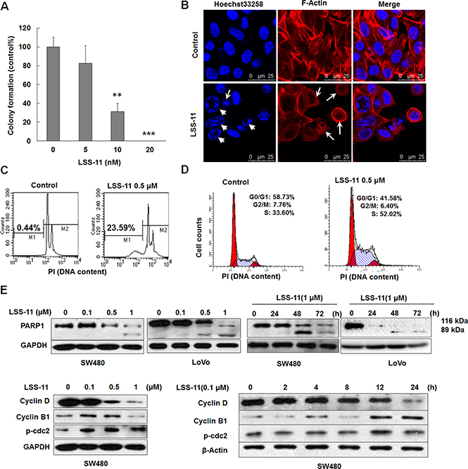 LSS-11 inhibits viability of colorectal cancer cells through apoptosis and cell cycle arrest.