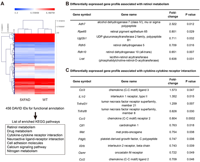 Microarray based differentially expressed gene profile with retinol metabolism and cytokine-cytokine receptor interaction in the RPE complex of 5XFAD mice.