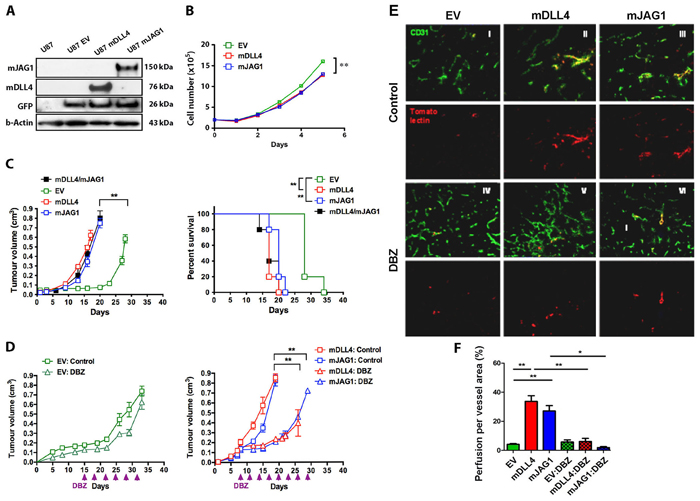 mDLL4 and mJAG1 reduced proliferation