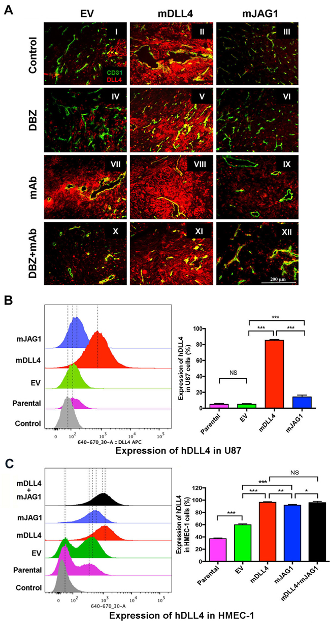 DLL4 and JAG1 induced endogenous DLL4 expression in tumour vessels.