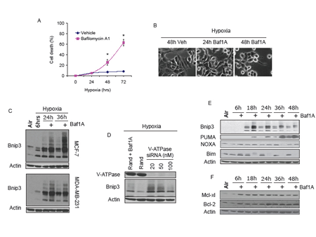 Vacuolar ATPase inhibition induces Bnip3 dependent cell death.