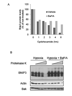 Bafilomycin 1A increases stability and decreases proteinase k susceptibility of Bnip3.