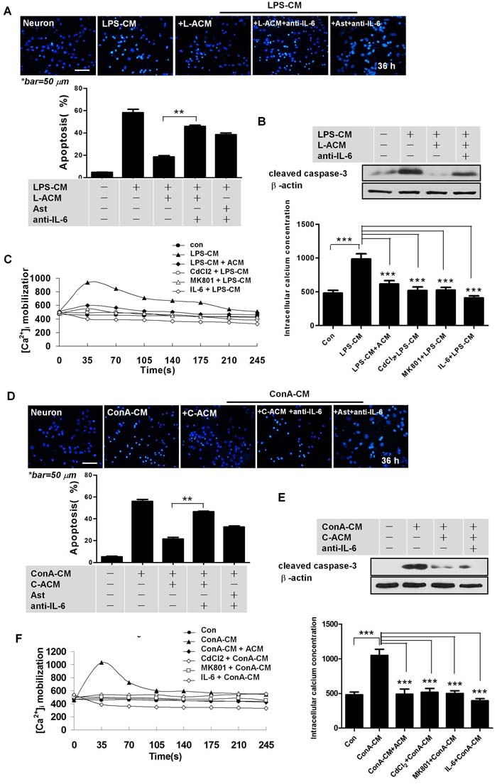 IL-6 is important for astrocyte-mediated neuroprotection.