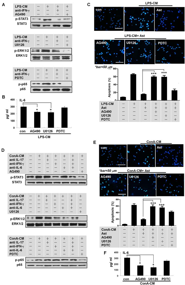 IFN-γ promotes IL-6 secretion in stimulated astrocytes via STAT3 and ERK1/2 signaling.