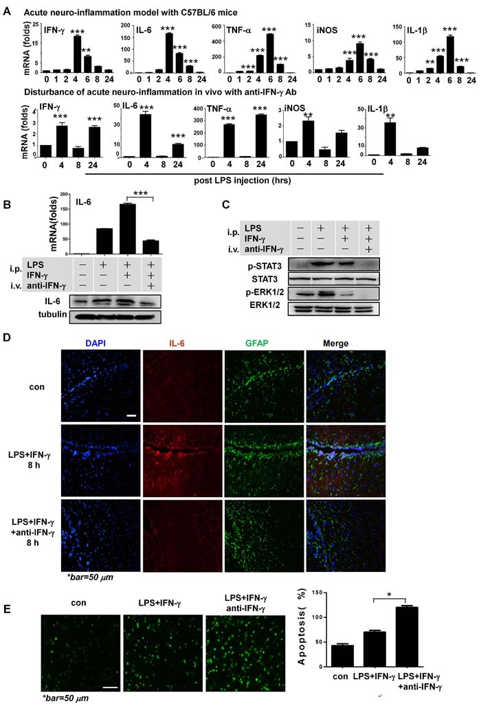 IFN-γ is neuroprotective during acute neuroinflammation