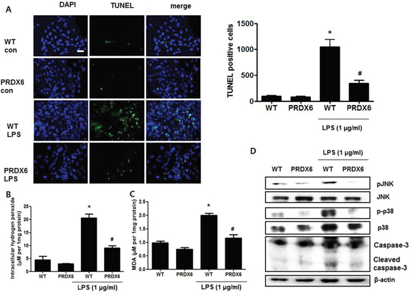 LPS-induced apoptotic cells and activation of MAPK were decreased in the primary renal proximal tubular cells from PRDX6 mice compared to cells form WT mice.
