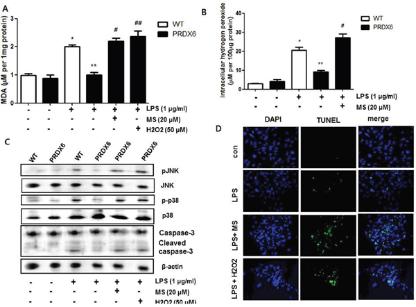 Effects of PRDX6 inhibitor or hydrogen peroxide on LPS-induced oxidative stress and apoptotic cell death of the primary renal proximal tubular cells from PRDX6 mice.