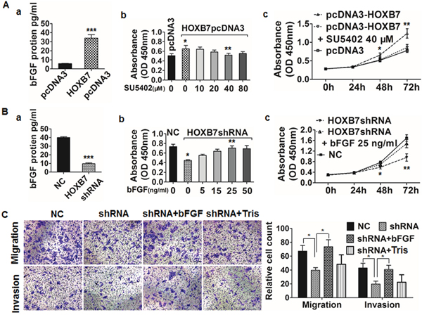 HOXB7 enhances HCC cell proliferation, migration, and invasion via induction of bFGF secretion.