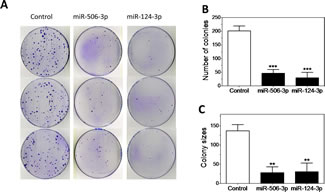 Characterization of the tumor suppressive function of miR-506-3p/miR-124-3p family.