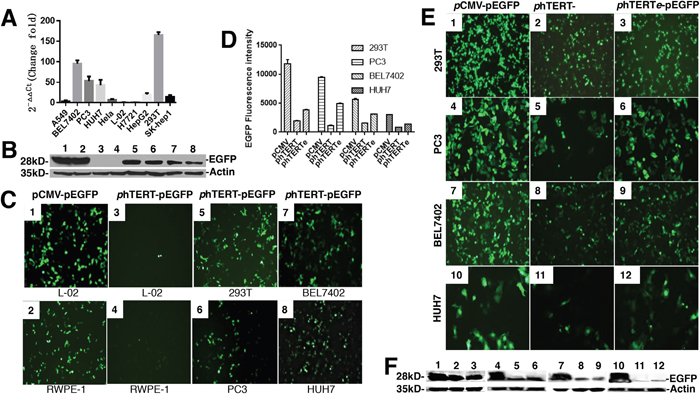 The activity assay of phTERT promoter in different cell lines.