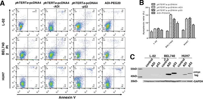Detecting tumor targeting and cytotoxicity of ADI regulated by phTERTe promoter.