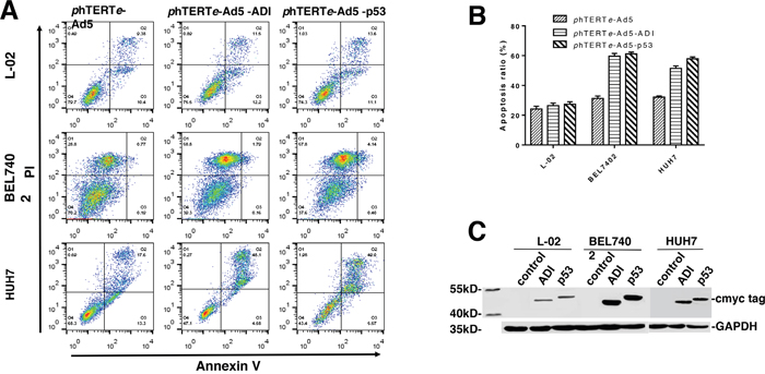 Apoptosis efficiency induced by ADI adenovirus in L-02, BEL7402 and HUH7 cells.