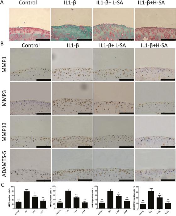Effect of sanguinarine (SA) on interleukin (IL)-1β-induced cartilage matrix degradation ex vivo.