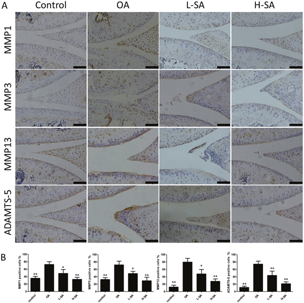 Effect of sanguinarine (SA) on cartilage matrix degradation in vivo.