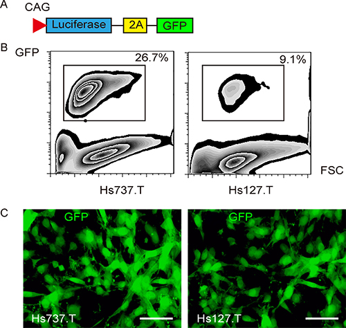 Labeling GCT cells with GFP and luciferase.