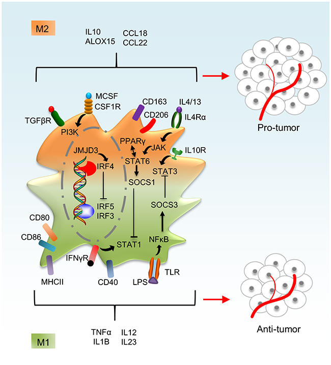 Macrophage activation phenotypes.
