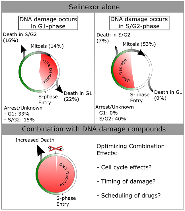 Summary of cell cycle -associated cell fates after DNA damage in HT-1080.