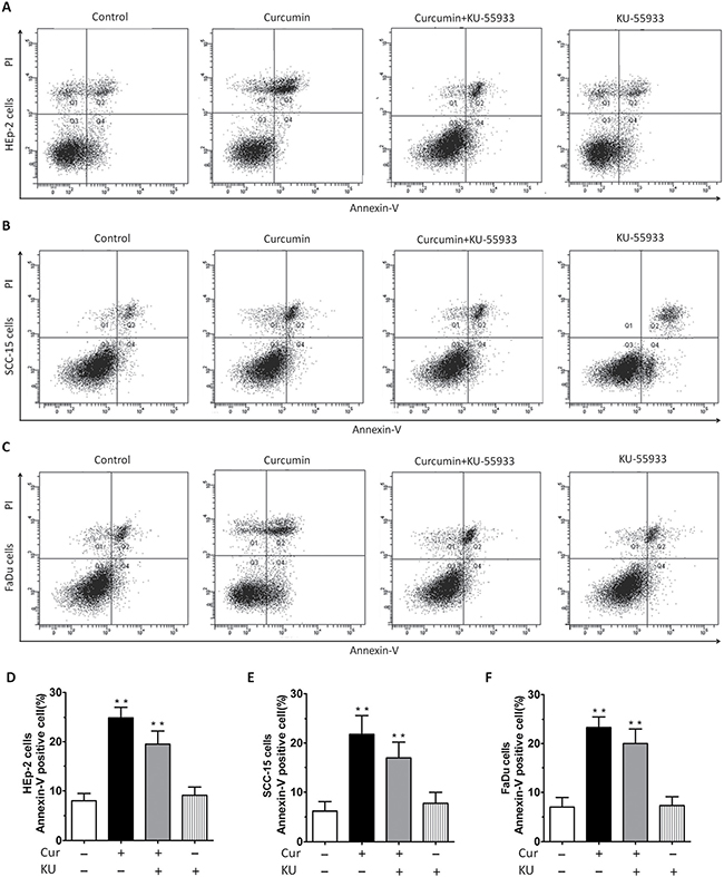 Annexin-V/PI staining showed that CUR treatment induced apparent apoptosis in HEp-2, SCC-15, FaDu cells.