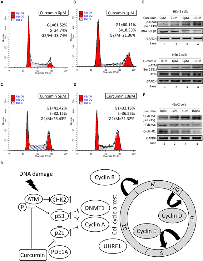 Role of ATM/Chk2/p53 in CUR mediated G2/M cell cycle arrest.