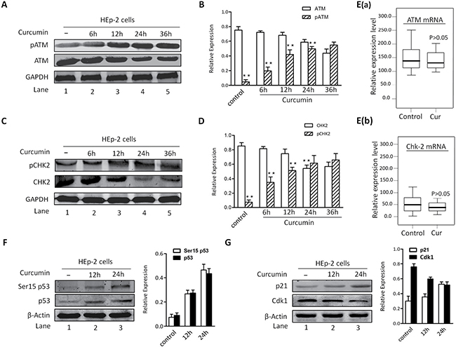 CUR-induced apoptosis is associated with activation of ATM/Chk2/p53 signal pathway.