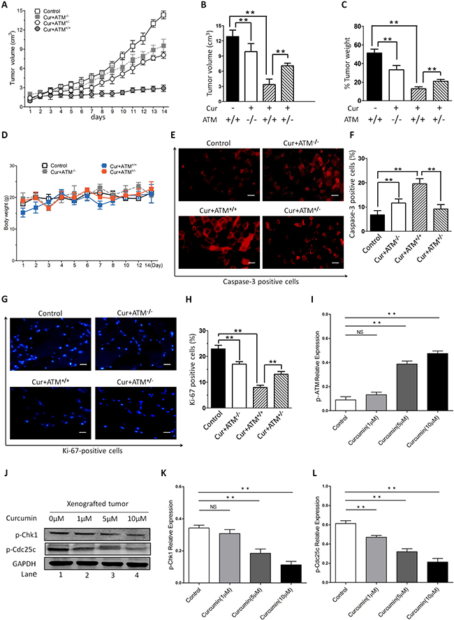 In vivo effects of CUR on HNSCC growth.