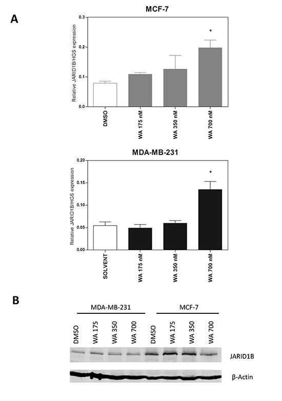 WA treatment increases JARID1B (KDM5B) mRNA, but not protein expression.