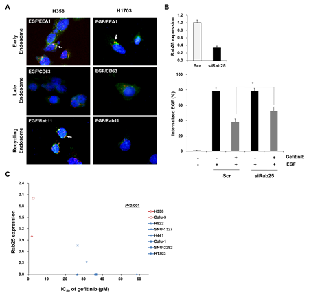 Status of Rab25 expression is associated with EGFR endocytosis and gefitinib response.
