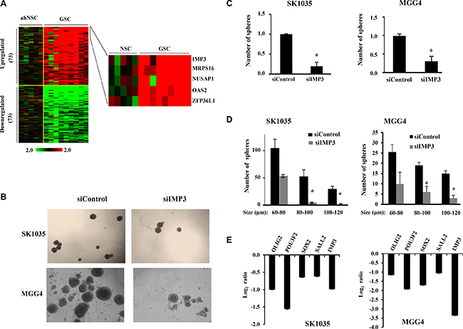 IMP3 expression is associated with GSC maintenance.