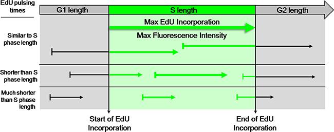 EdU-coupled Fluorescence Intensity analysis - the principle.