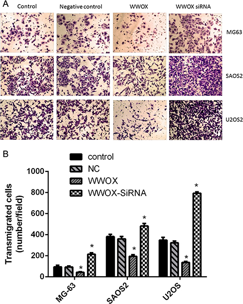 WWOX inhibited the invasion of osteosarcoma cells.