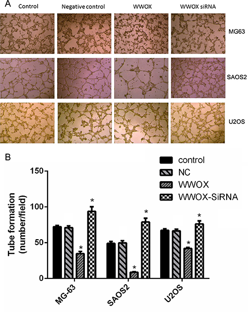 WWOX inhibits tube formation in HUVECs.