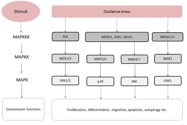 Oxidative stress-stimulated MAPK signalling pathways.