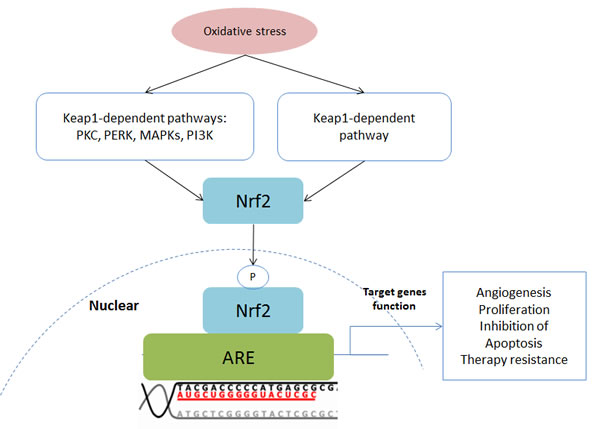Schematic of the Keap1-Nrf2-ARE pathway.